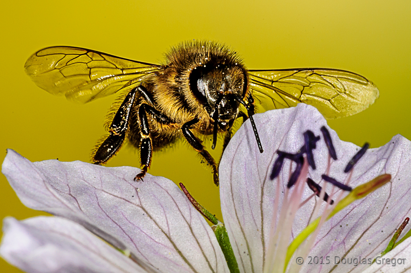 A leafcutter bee.  Click to see larger version.